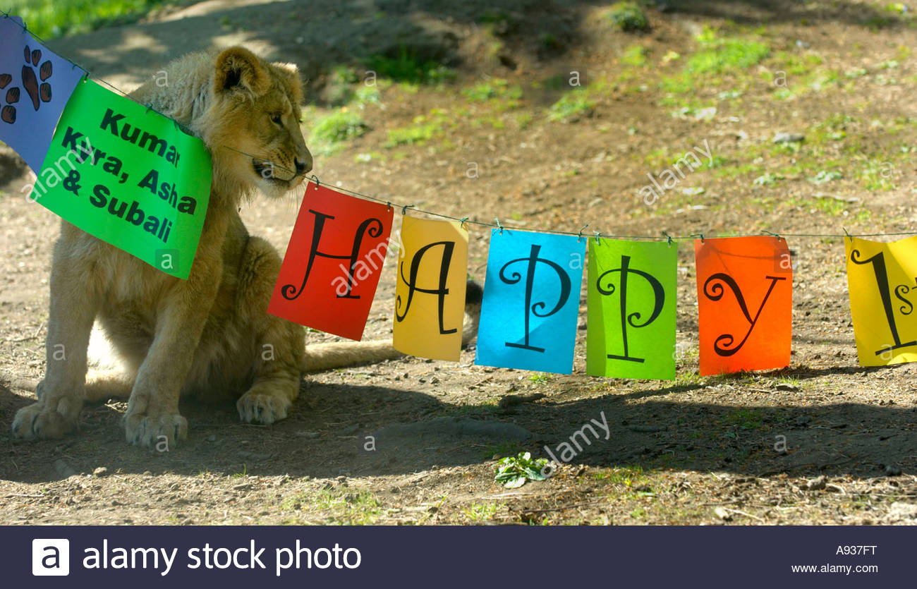 big happy birthday sign ; lion-cub-watching-a-big-happy-birthday-sign-A937FT