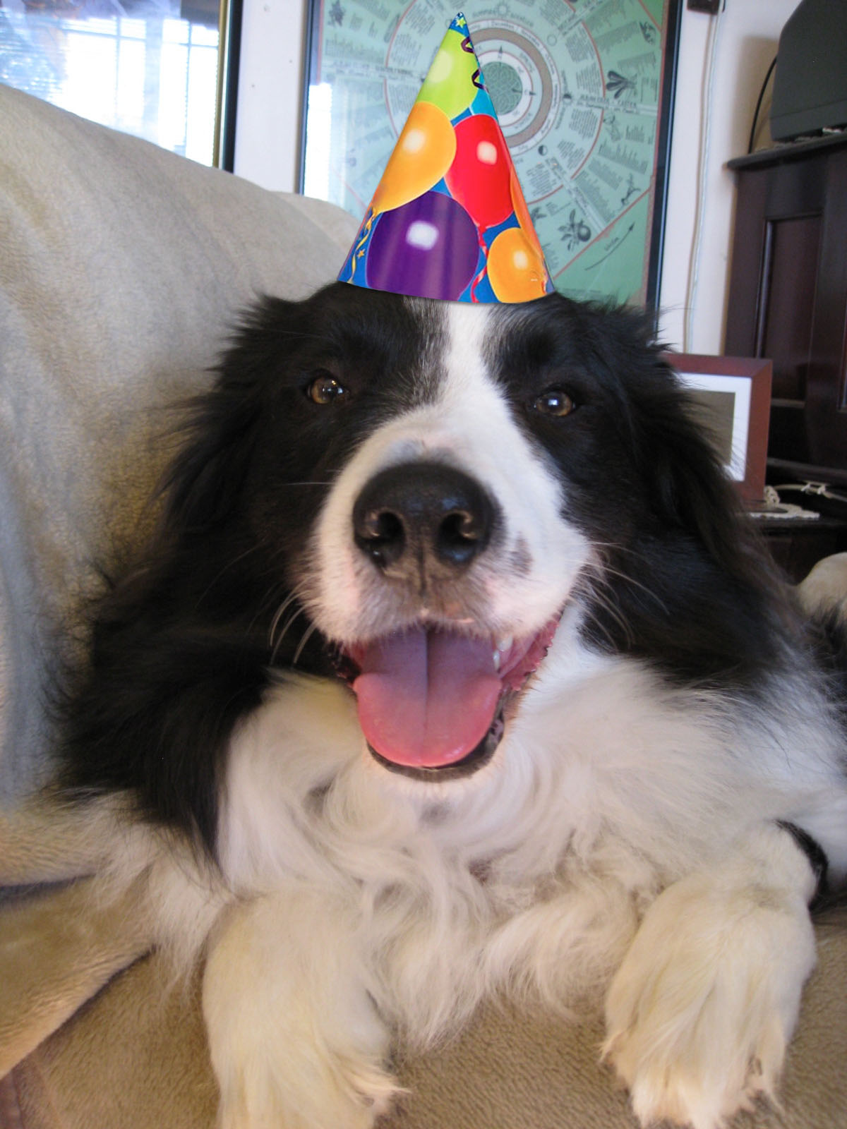 border collie birthday ; 01cac4bf4e332629b19b158582907e79