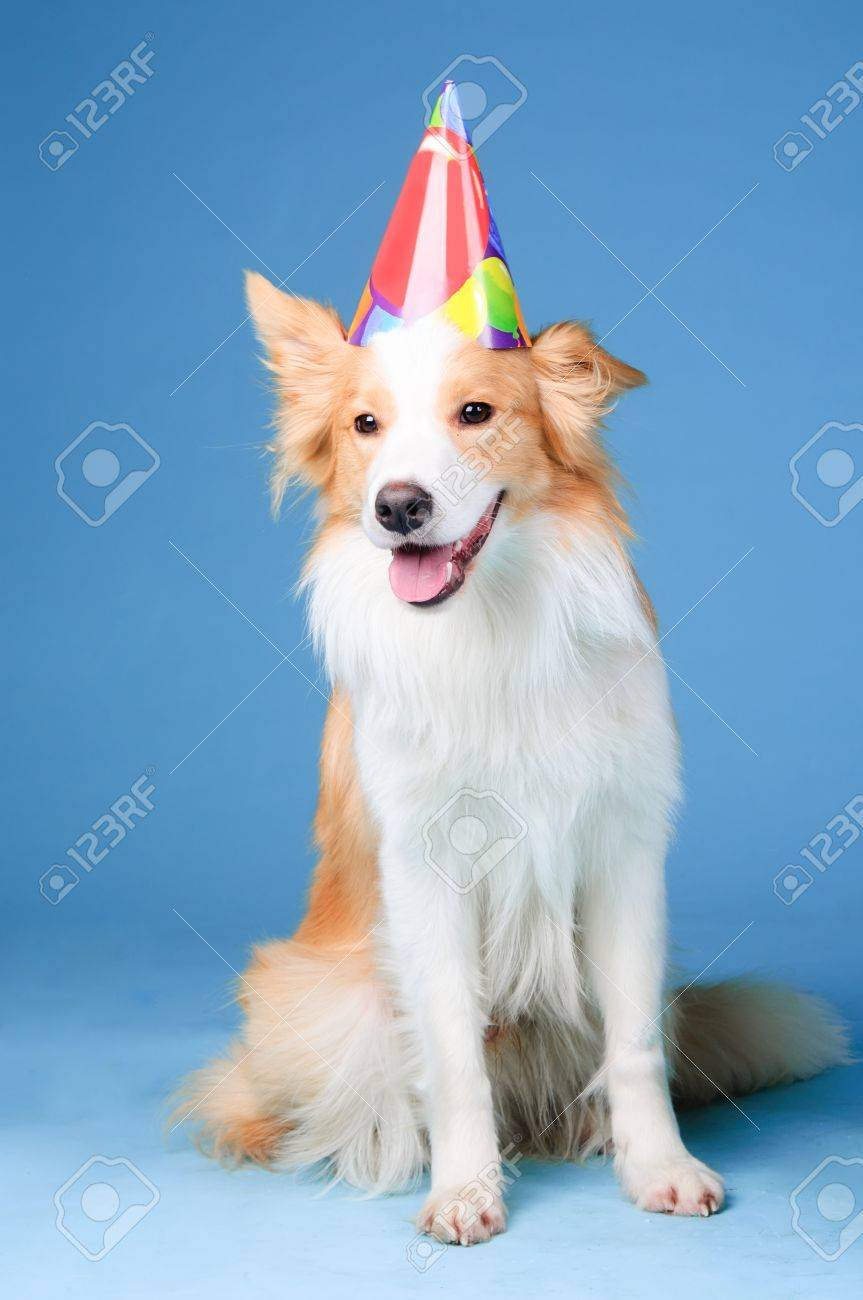 border collie birthday ; 12836949-red-and-white-border-collie-in-studio-happy-birthday