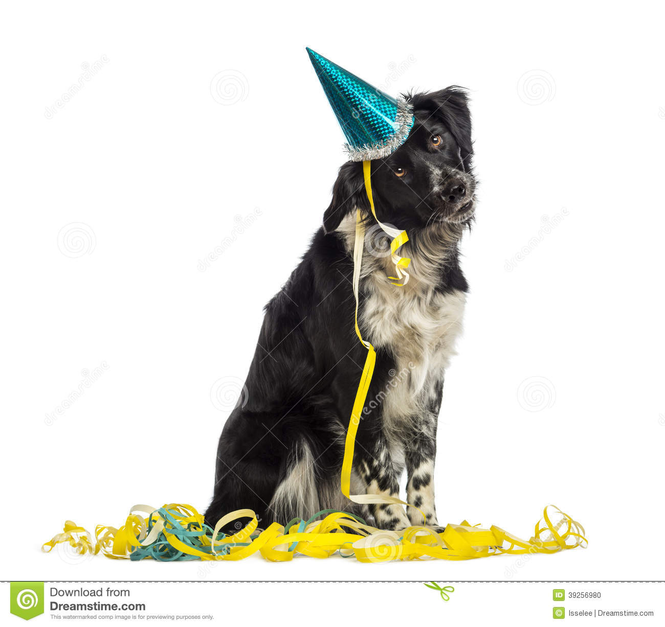 border collie birthday ; border-collie-wearing-party-hat-sitting-serpentines-isolated-white-39256980