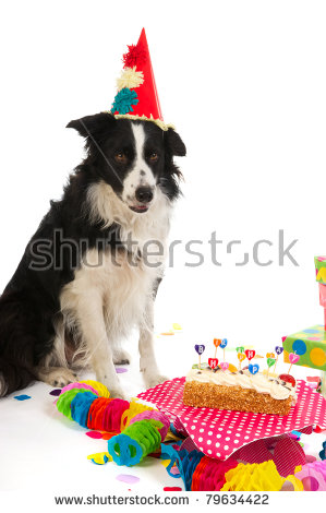 border collie birthday ; stock-photo-border-collie-is-having-a-colorful-birthday-79634422