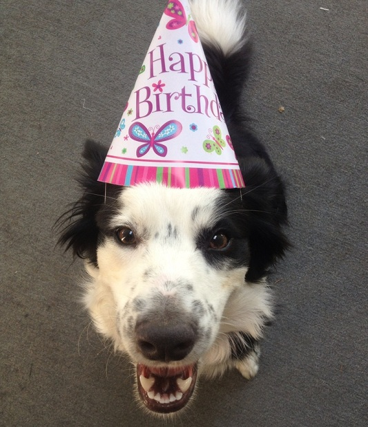 border collie birthday images ; Border-Collie-birthday