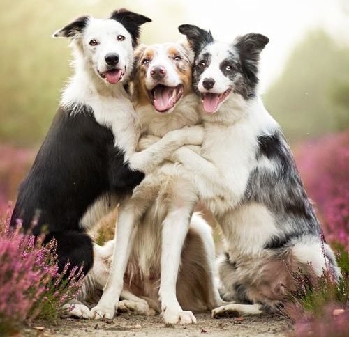 border collie birthday images ; Border-Collie-friends