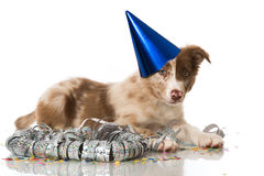 border collie birthday images ; border-collie-puppy-confetti-streamers-isolated-white-47694030