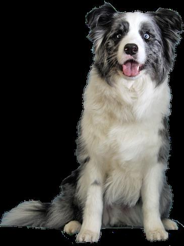 border collie birthday images ; bordercoll