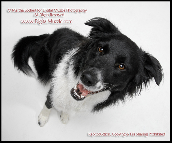 border collie birthday images ; pickles_0881