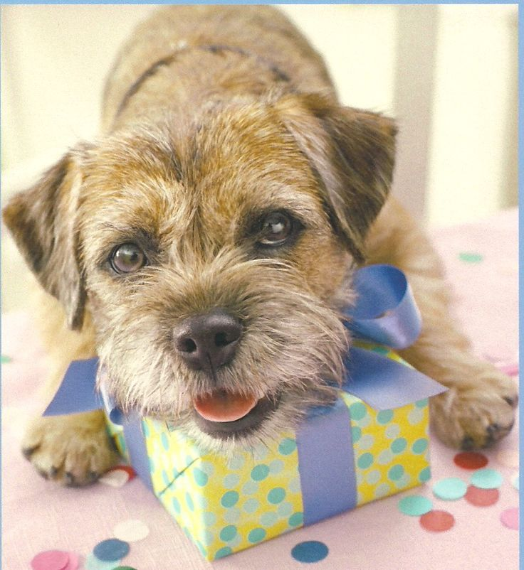 border terrier birthday ; 0445b1681527d9e830a9494995224bbe--terrier-puppies-terriers