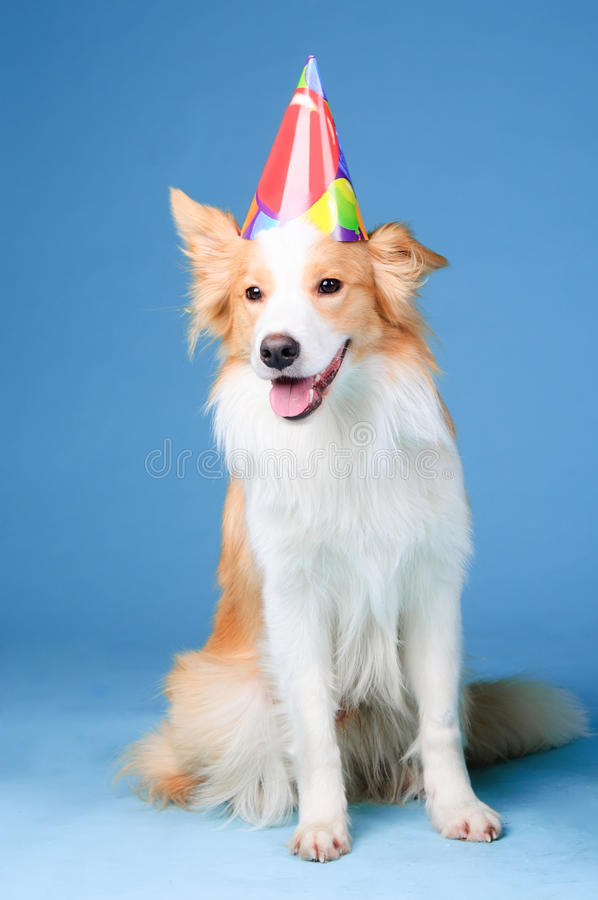 border collie happy birthday images ; red-white-border-collie-happy-birthday-23785022