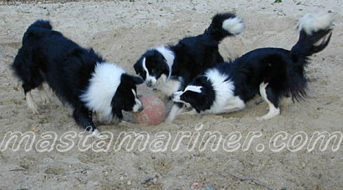 free border collie birthday cards ; border_collies_playing