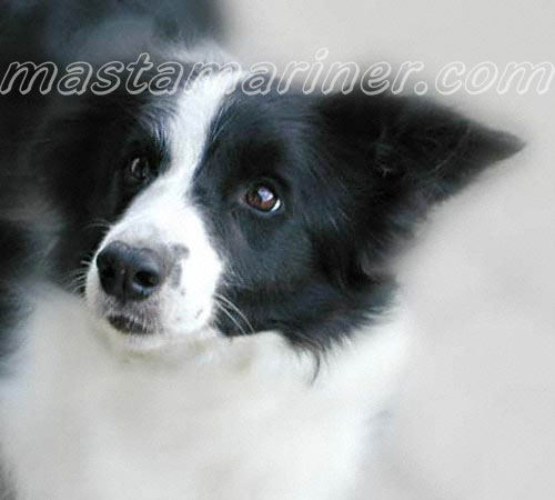 free border collie birthday cards ; cider-portrait