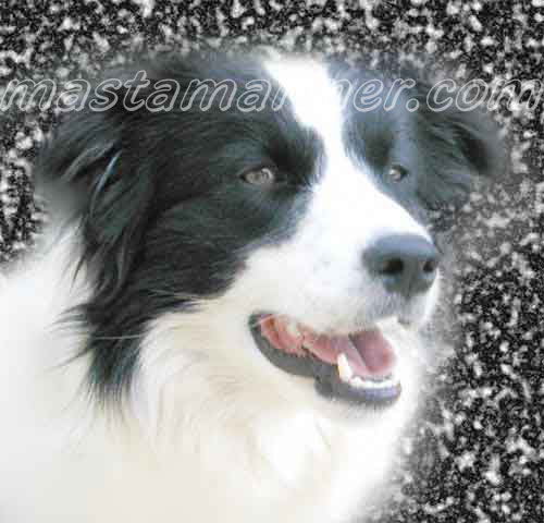 free border collie birthday cards ; deborah_on_marble