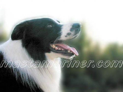 free border collie birthday cards ; hercules_lying