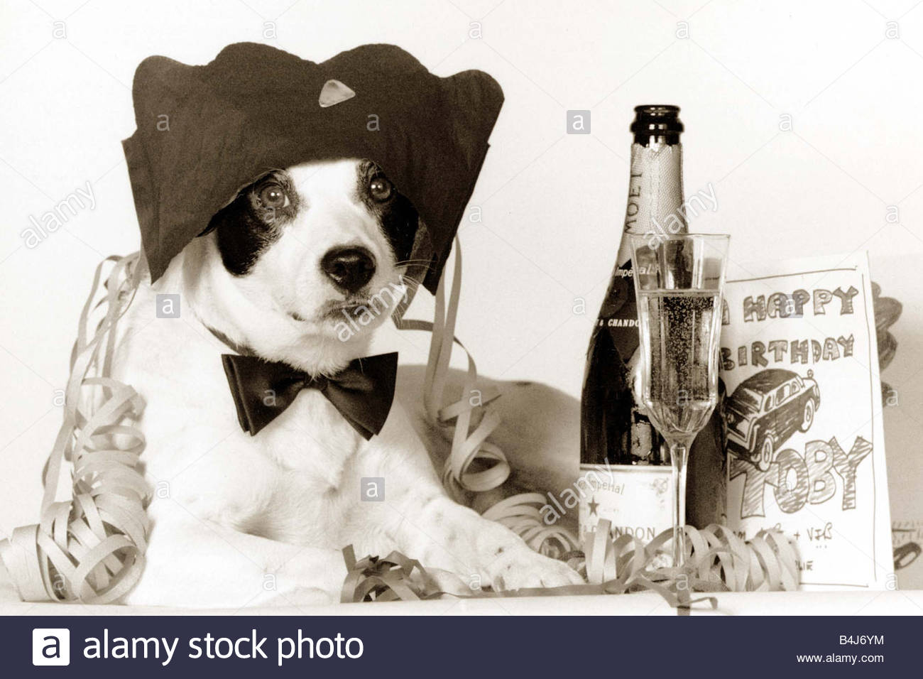 free border collie birthday cards ; party-animal-border-collie-dog-celebrating-his-borthday-with-a-bottle-B4J6YM