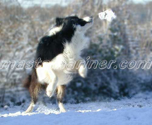 free border collie birthday cards ; snow-games_scrumpy