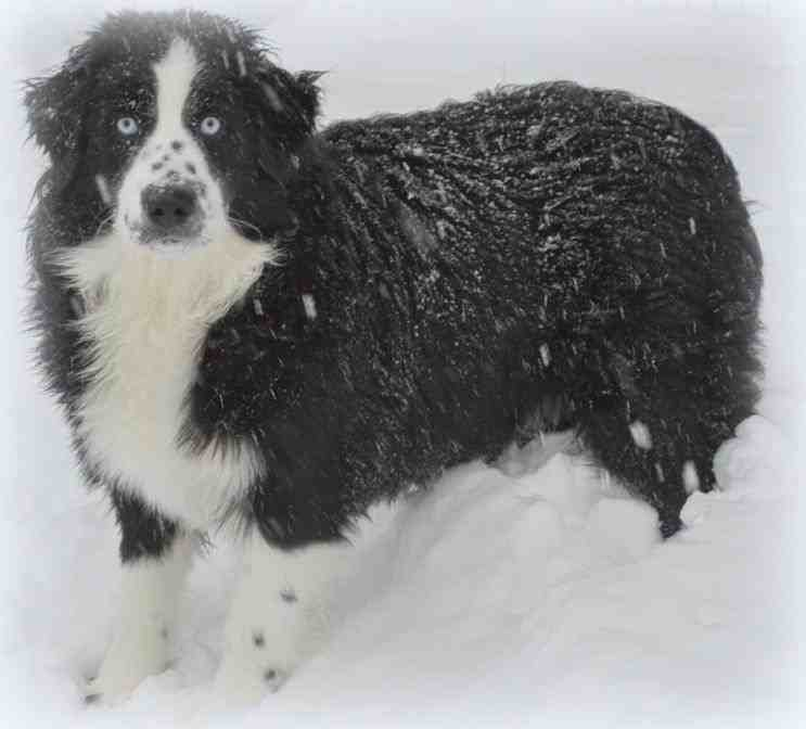 border collie birthday meme ; in-blue-eyed-solid-black-u-white-border-collie-sky-aussies-aussie-puppies-for-sale-sky-Black-And-White-Australian-Shepherd-With
