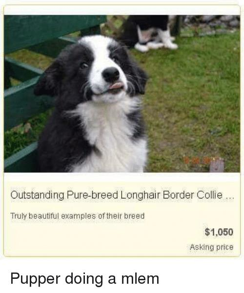 border collie birthday meme ; outstanding-pure-breed-longhair-border-collie-truly-beautiful-examples-of-their-27448977