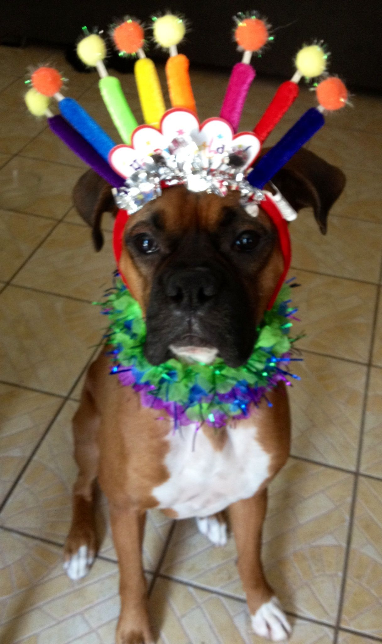 happy birthday boxer dog ; 2052da28d410aae724e0ecc147696cb4