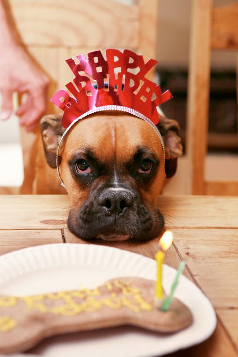 happy birthday boxer dog ; a524d8ac04385facf6b84bff3ee44c14