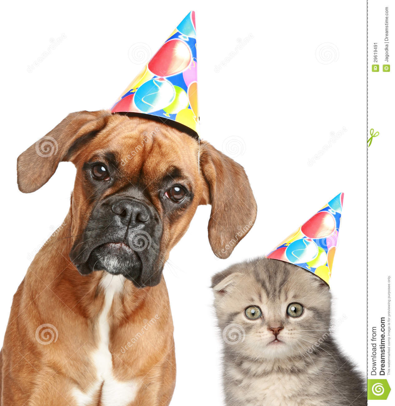 happy birthday boxer dog ; dog-cat-party-cap-white-background-29619491