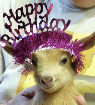 happy birthday goat meme ; CrrDaj8WYAA-kf0