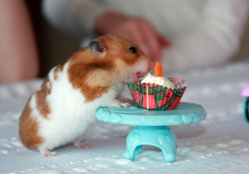 happy birthday hamster ; September-01-2011-22-24-52-tumblrll93y7MNlj1qg7bz2o1500