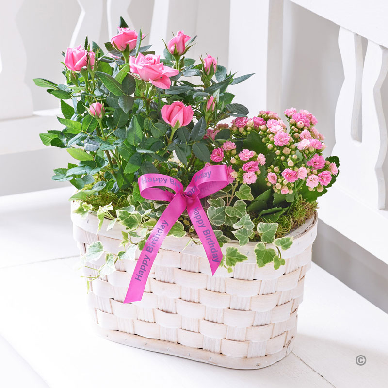 happy birthday pink roses ; C09521MS-happy-birthday-pink-rose-and-kalanchoe-basket