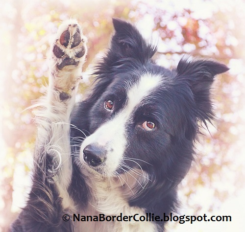 nana the border collie birthday ; nana3%252Bsm3%252Bwm