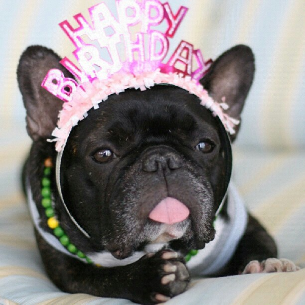 french bulldog birthday picture ; 23040d6c939937a58bd3c45d40875ab4