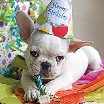 french bulldog birthday picture ; 51siIBGUERL
