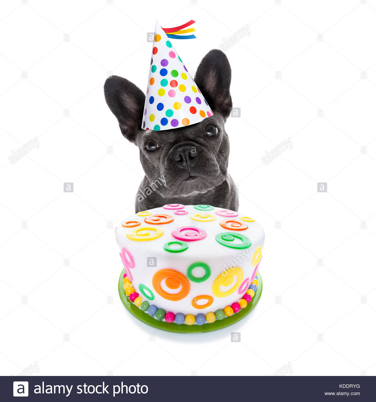 french bulldog birthday picture ; french-bulldog-dog-hungry-for-a-happy-birthday-cake-wearing-party-KDDRYG