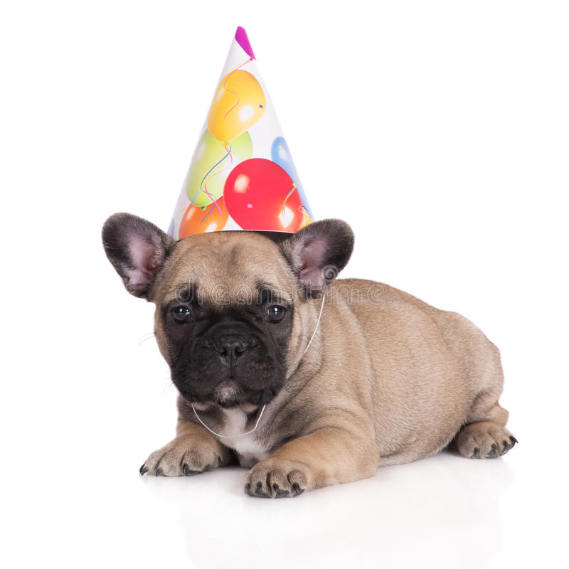 french bulldog birthday picture ; funny-puppy-birthday-hat-one-month-old-french-bulldog-52427166