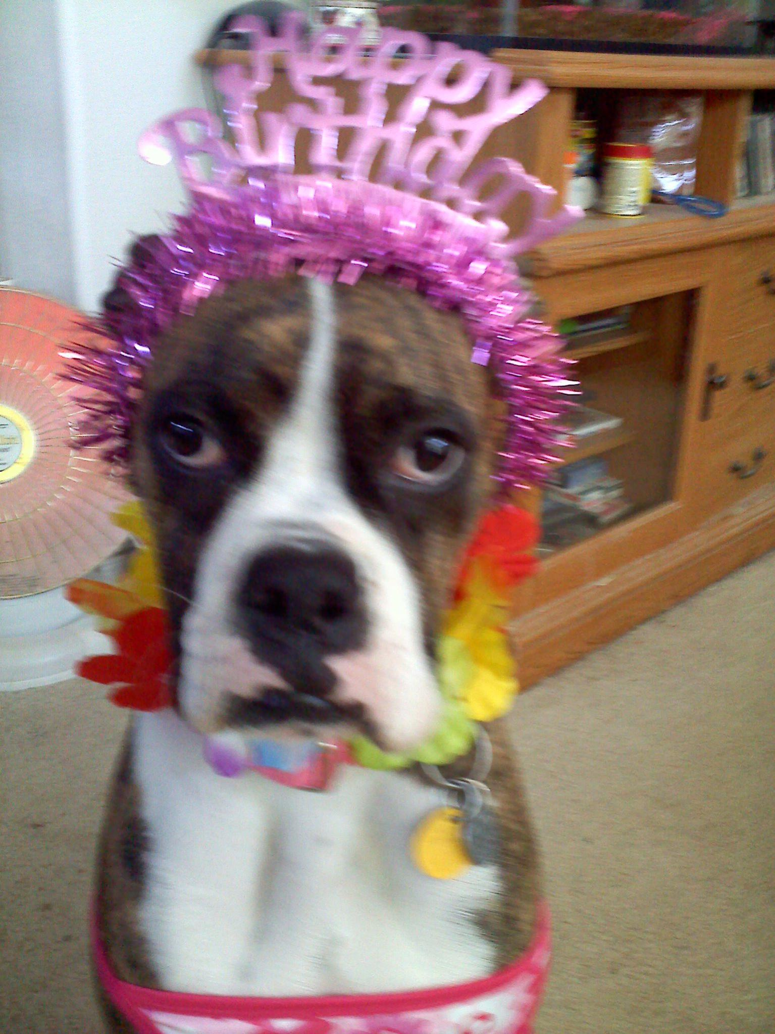 happy birthday boxer picture ; happy%2520birthday%2520boxer%2520dog%2520;%252016490d1301843568-happy-birthday-abby-20110403075810