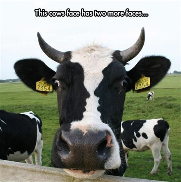 happy birthday cow meme ; This-Cows-Face-Has-Two-More-Faces-Funny-Meme-Picture