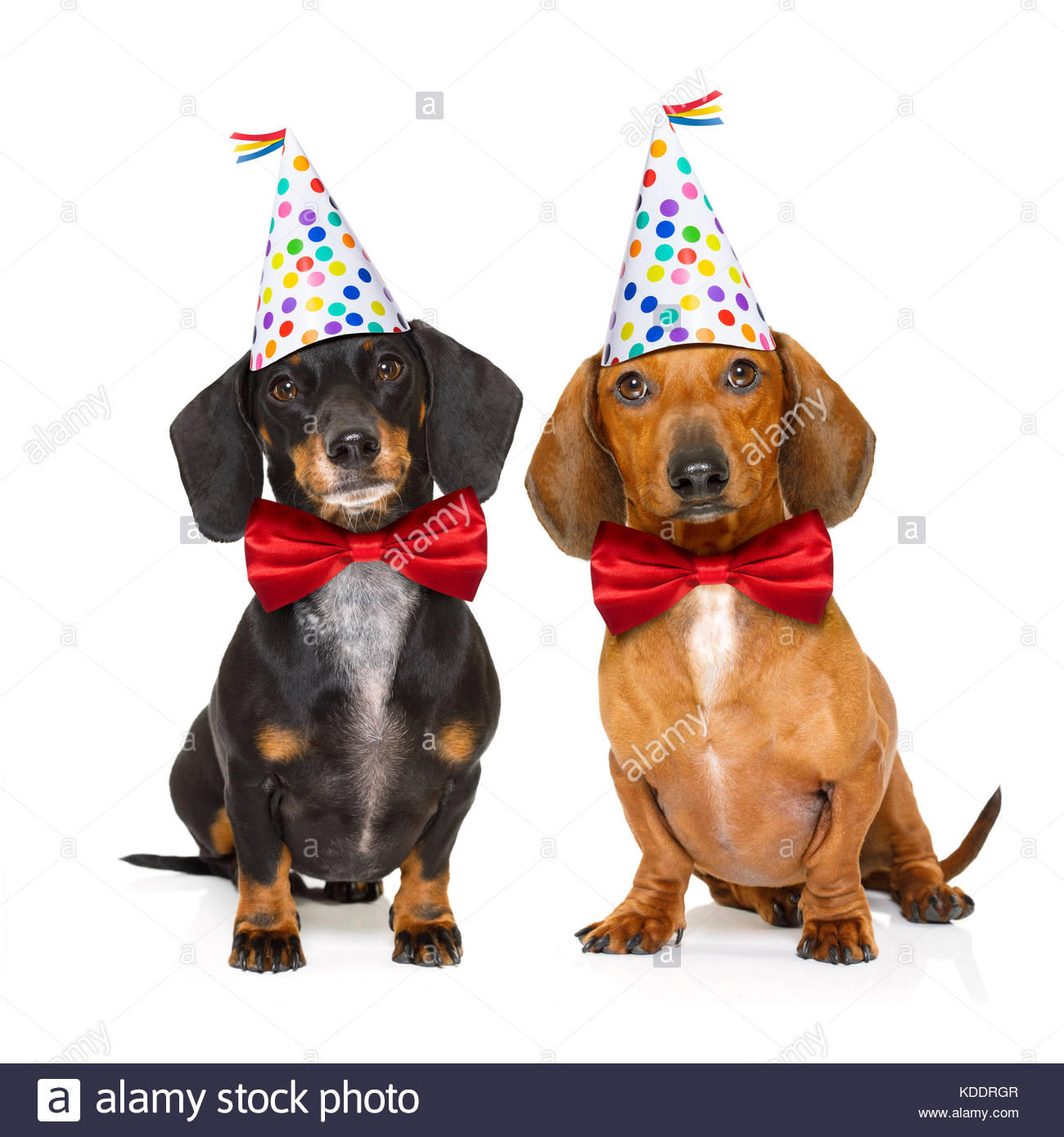 happy birthday dachshund ; couple-of-two-dachshund-or-sausage-dogs-hungry-for-a-happy-birthday-KDDRGR