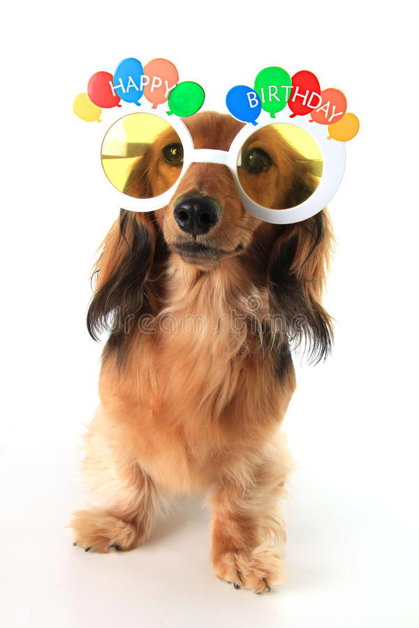 happy birthday dachshund ; happy-birthday-dachshund-puppy-wearing-glasses-61199579