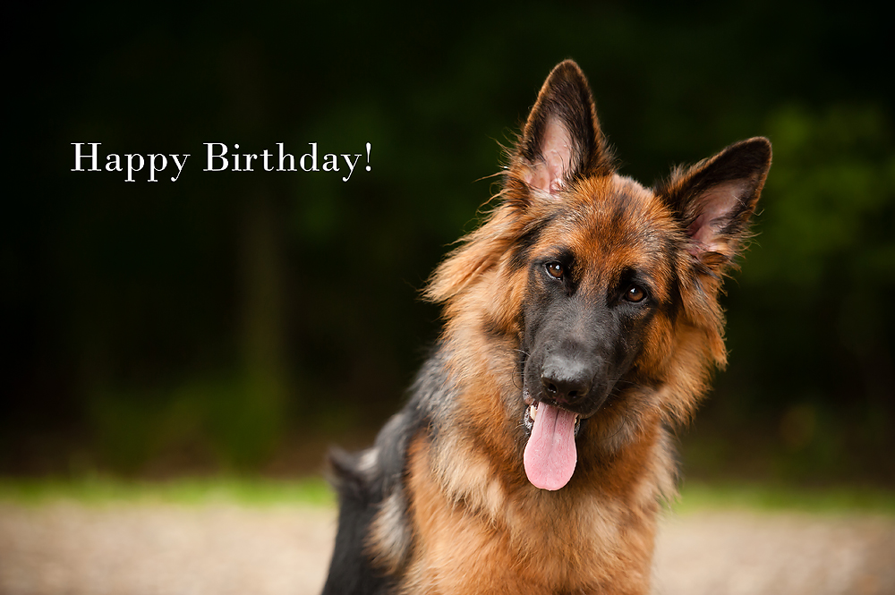 happy birthday german shepherd greeting ; lola1y-026a