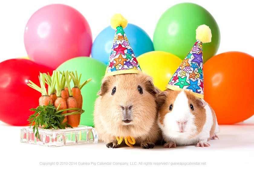 happy birthday guinea pig ; 4a297a8834abd583593b36f7e1a47e11