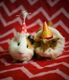 happy birthday guinea pig ; 4efe662f3e3a3cb6a04aa58d6d655f18--good-times-happy-birthday