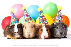 happy birthday guinea pig ; 5e3ddf1dea020cb0c13865a2b4c657b9--pig-birthday-birthday-funnies
