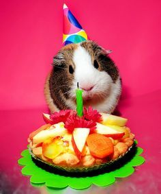 happy birthday guinea pig ; e4c13d392e7af9ca9be4fe89e6f81108